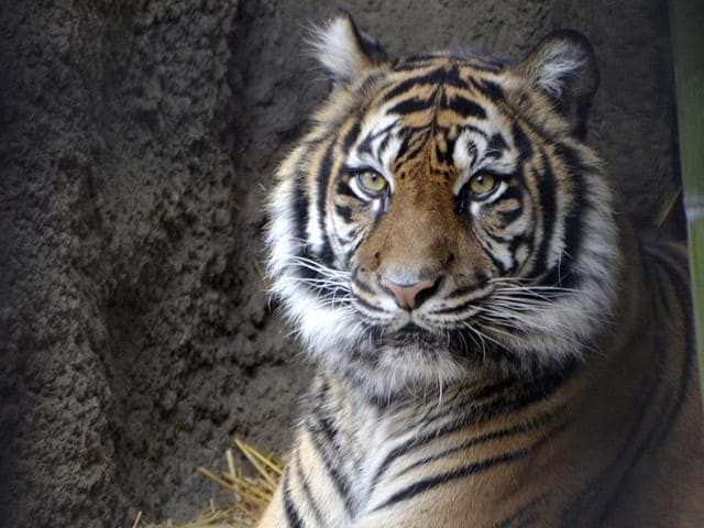(Representative image) A tigress in her lifetime has multiple partners, a study found, countering the earlier belief that they were polygynous.