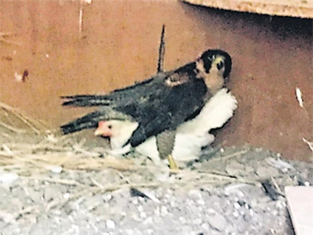 The hen burrows under the Peregrine at Chhatbir zoo.