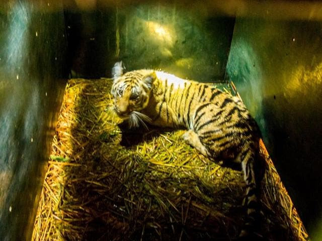 Pench tigress