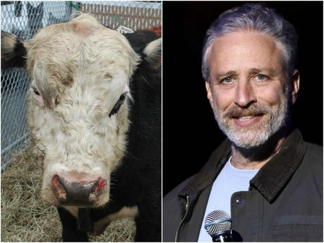 Farm Sanctuary posted on Facebook , a video of Jon feeding the bull, who ditched out of a truck from a slaughterhouse in Jamaica, New York to the campus of York College, reported Ace Showbiz.