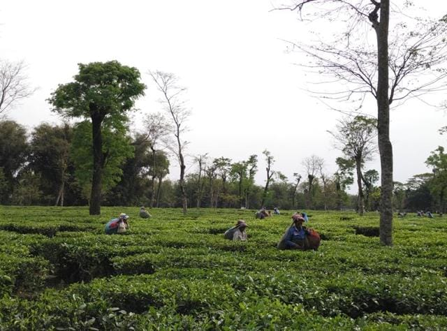 The PM refrained from mentioning the plight of the Assam's tea garden workers, the work force behind his favourite tea.(Furquan Siddiqui)