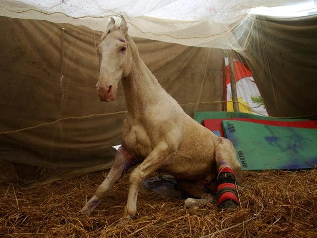 Shaktiman,Police horse,Shaktiman recovering