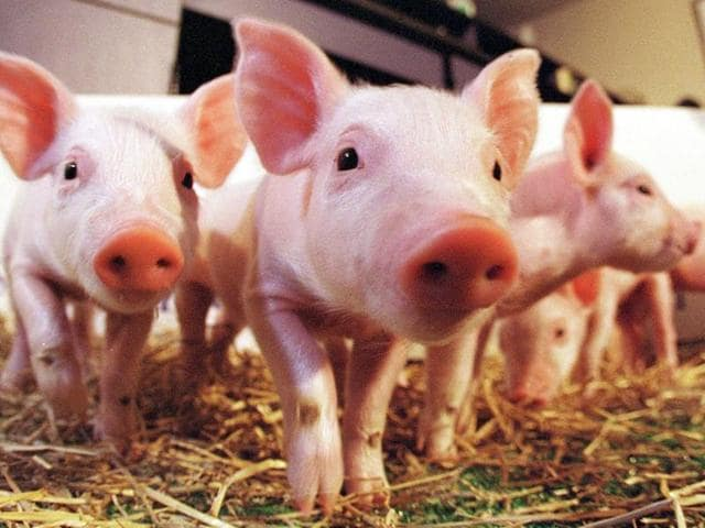 Pigs are considered the most suitable species for cross-species transplantation.