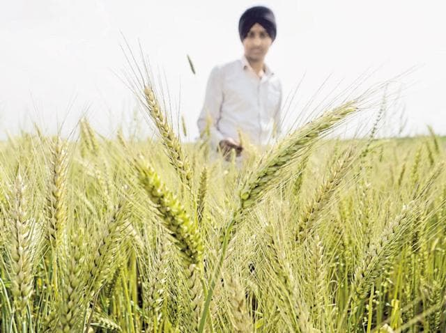 A famer's son inspects the ripened wheat crop in his field near Verka in Amritsar on Sunday.