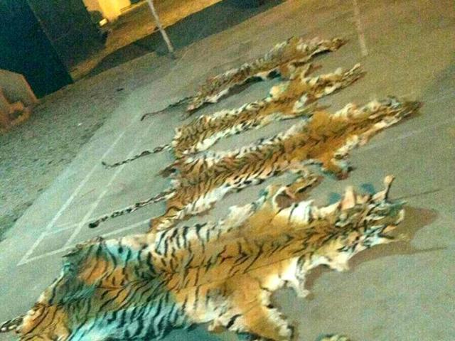 Three arrested for poaching tigress, cubs in MP