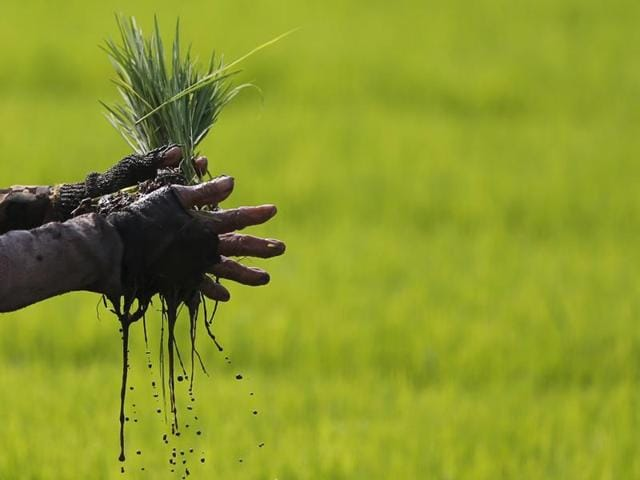 A worker in a paddy field near Ahmedabad