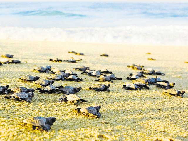 For representational purpose only: The turtle-watching event is the biggest attraction at Velas.