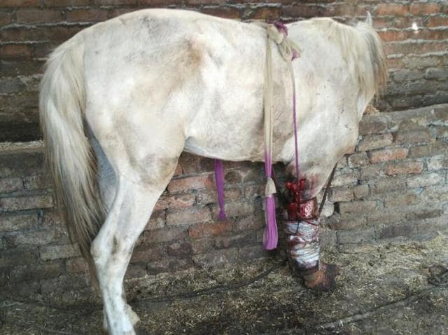 The injured horse is struggling for its life in an animal shelter in Dehradun.