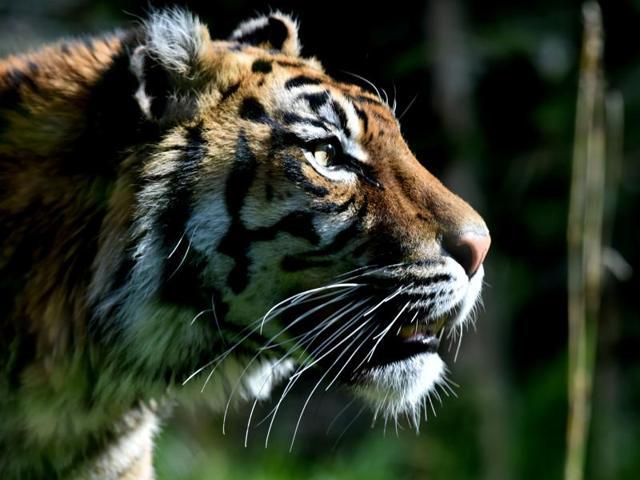 Wild tigers,Tiger census,Wilflife conservation