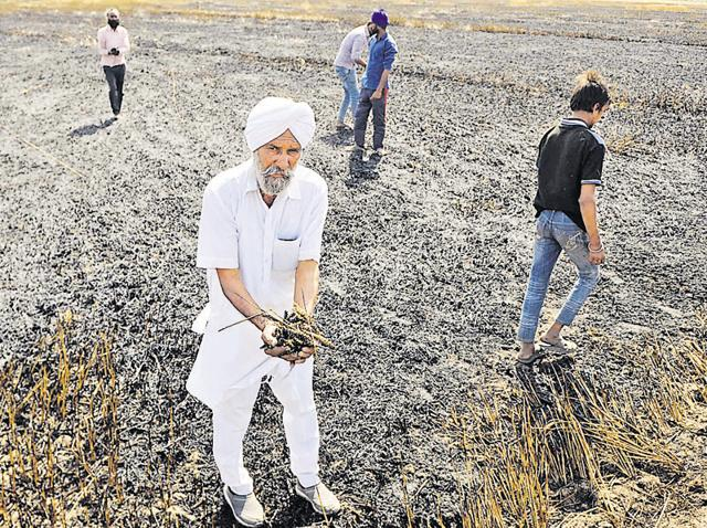 A farmer showing the wheat crop that was damaged in the fire that destroyed 40 acres of agricultural land in Mehmadpur village near Patiala on Monday.