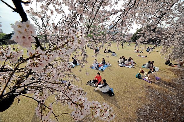 Sakura,Japan,Cherry Blossoms