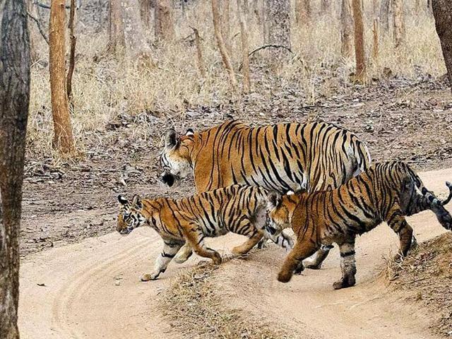 Pench Tiger Reserve,Madhya Pradesh,Tiger conservation
