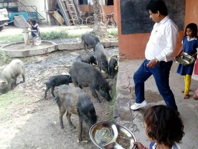 Pigs galore at the pre-middle school in Rewa town of Madhya Pradesh.