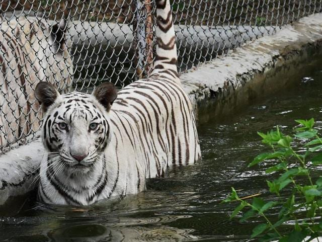 The big cat was being kept in an animal park run by a group called the Wildlife Refuge Foundation on the outskirts of Jayaque, a town just west of the capital San Salvador.