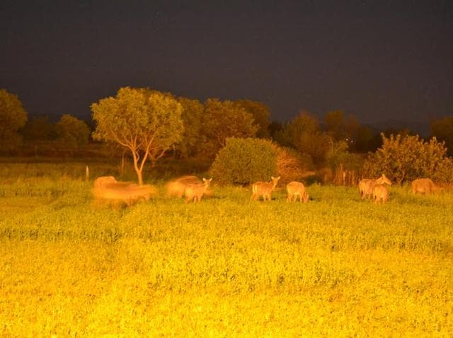 Neelgais feed on crops adjacent to the IRB campus, Sarangpur, past midnight.