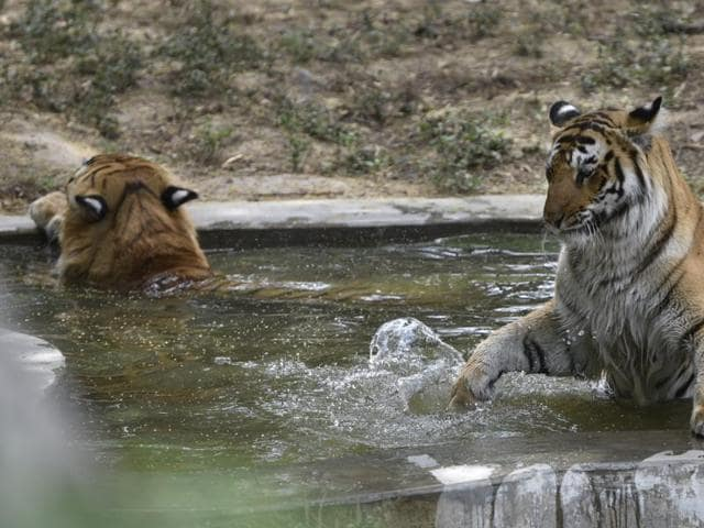 Pench Tiger Reserve,poaching of tigers in MP,trade in tiger parts