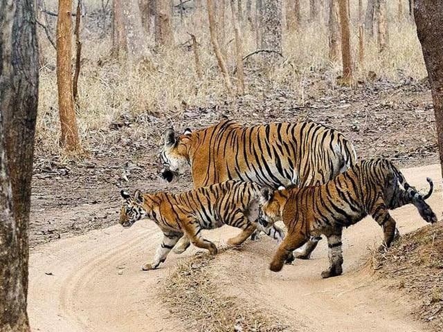 tigers found dead in Kanha reserve