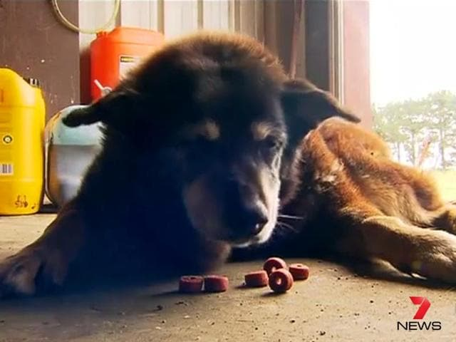 Maggie, believed to be the world's oldest dog at the age of 30, died peacefully in her sleep on Sunday night in Australia, BBC reported