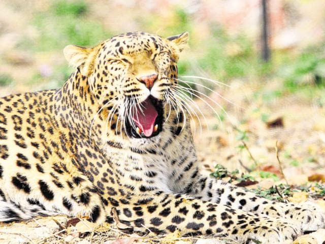 The number of leopards in Rajasthan have risen from 420 to 434 according to the wildlife census.