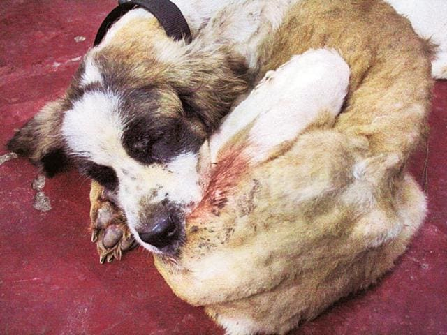 An abandoned St. Bernard at an animal shelter, rescued from the Delhi-Gurgaon Highway.