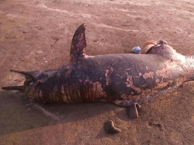 The carcass of a seven-foot Indo Pacific humpbacked dolphin washed ashore at Gorai beach on Thursday afternoon