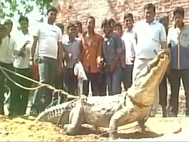 A crocodile which entered a village in Uttar Pradesh on Friday will be released in the National Chambal Sanctuary.