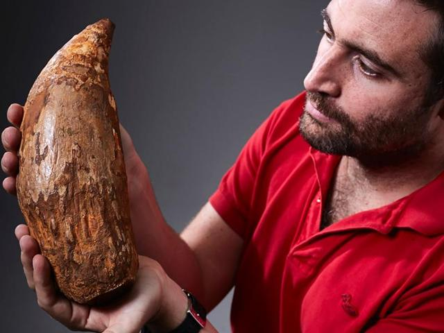 This hand out picture released by Museum Victoria shows Erich Fitzgerald, a palaeontologist, holding an extinct sperm whale tooth.