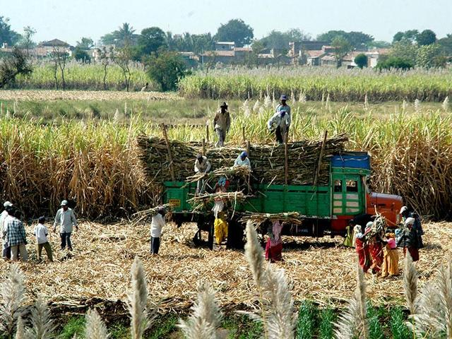 India's sugar and cotton output is showing signs of falling for the first time in five years and insufficient pulses production could keep prices high.(HT File Photo)