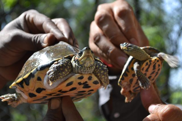 The female (left) and male turtles at Chhatbir.