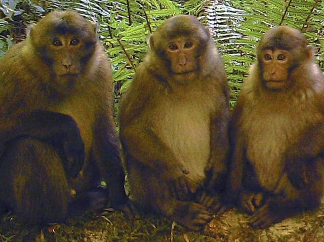 A photograph of White Cheeked Macaques in China.