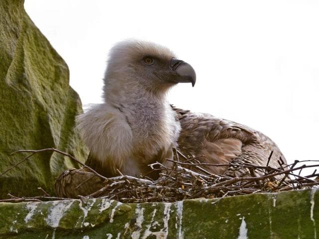 This handout photo made available by Tierpark Nordhorn on April 26, 2016 shows a male vulture brooding an abandoned egg at Tierpark Nordhorn Zoo, in Lower Saxony, Germany.