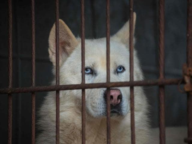 Korean dog meat farmers
