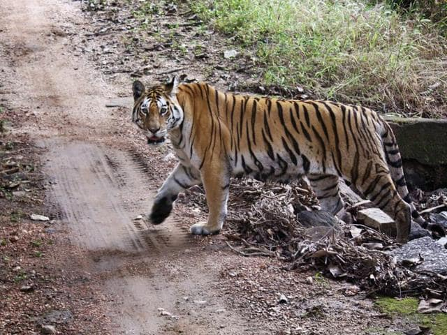 India is home to around 70% of the world's tiger population.