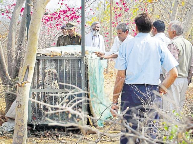 Forest officials captured a four-year-old leopard from a farmhouse in Sohna in March 2008.