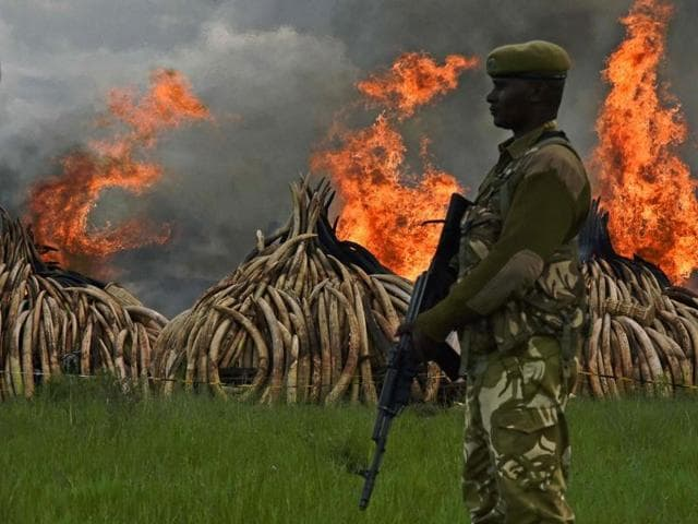 A Kenya Wildlife Service (KWS) ranger stacks elephant tusks, part of an estimated 105 tons of confiscated ivory to be set ablaze, onto a pyre at Nairobi National Park near Nairobi, Kenya.