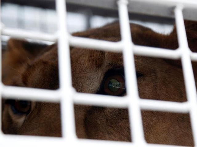 33 lions rescued