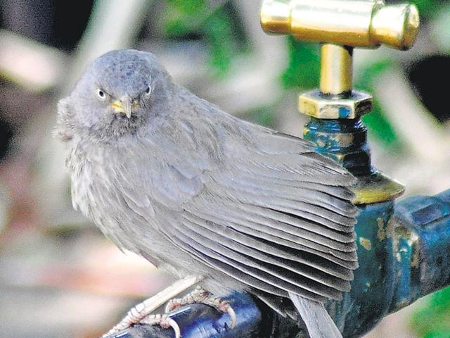 A jungle babbler in search of water in Chandigarh on Saturday.