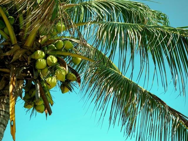 The Goa government de-recognised the coconut palm as a tree last month.