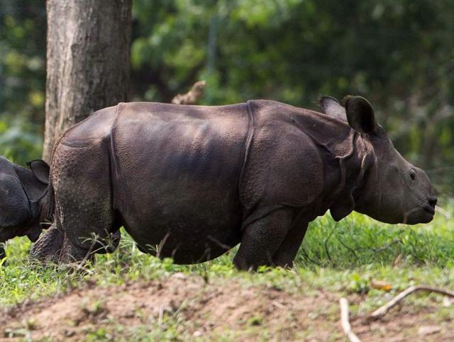 Rhino poaching is a major problem in the Kaziranga National Park, which is home to about 2500 rhinoceros.(PTI Photo)
