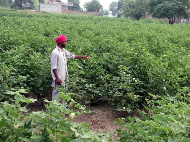 The government has set a target to cover five-lakh hectares under the crop this year against 4.5-lakh hectares last year.