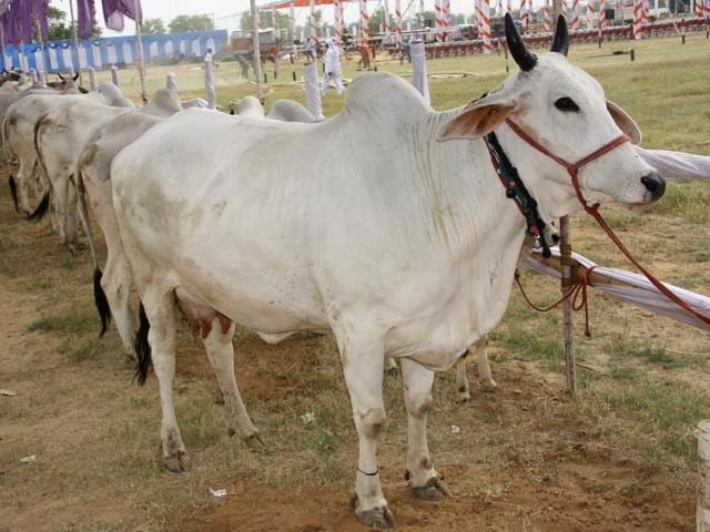Haryana is all set to host a cow show at International Institute of Veterinary Education and Research in Bahu Akbarpur village of Rohtak district on May 6 and 7.