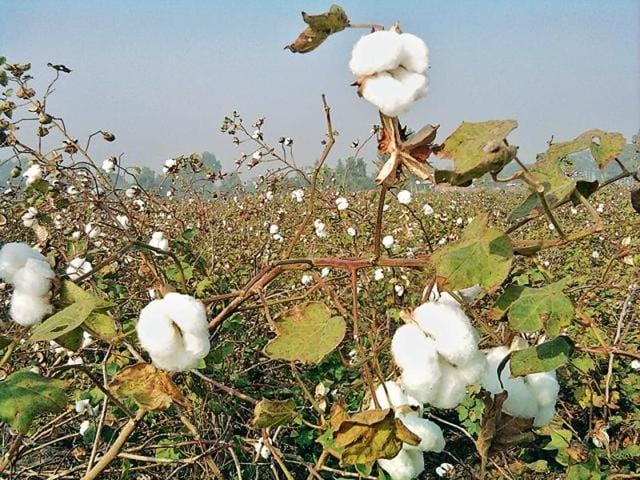 Ironically, the cotton growers of Muktsar district, in which Lambi constituency, represented by chief minister Parkash Singh Badal, falls, is one of the major sufferers.