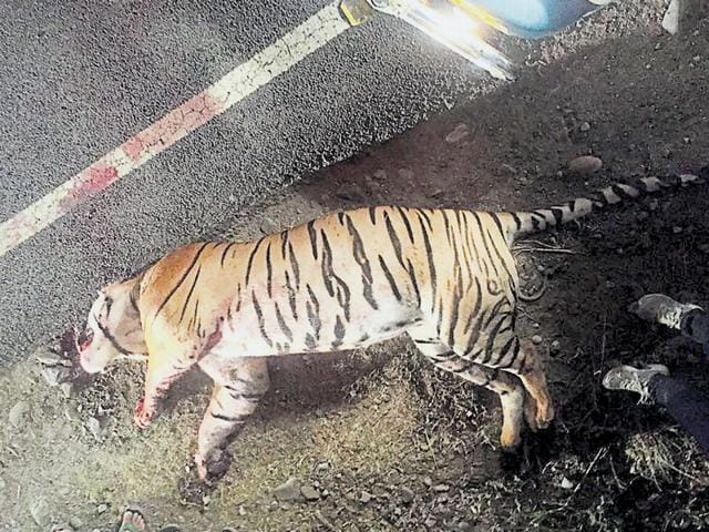 The dead tiger in Haridwar.  It is for the first time a tiger died in a road accident
