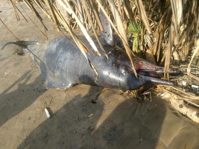 A seven-foot dolphin carcass was spotted at Dana Pani in Mumbai on Monday.