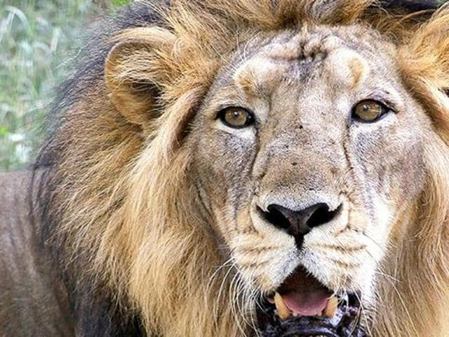 91 Asiatic lions died in Gujarat last year, thirteen more than 2014.