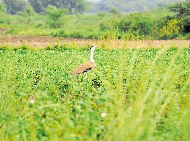 The Great Indian Bustard is among the 39 endangered species in  Rajasthan.