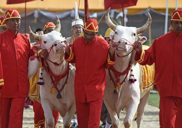 A pair of white bulls are led during the annual royal ploughing ceremony in Bangkok on May 9, 2016. Thailand's drought-stricken farmers got a rare bit of good news  when a pair of sacred bulls predicted that the heavens would finally open during the upcoming rainy season.