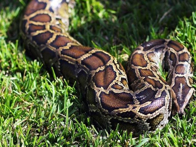 (Representative image)The gang used a snake to threaten the victim at the farmhouse in Hyderabad.