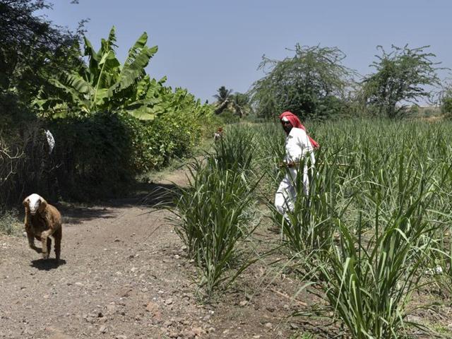 A farmer guards his crop near Paithan in Marthwada district.