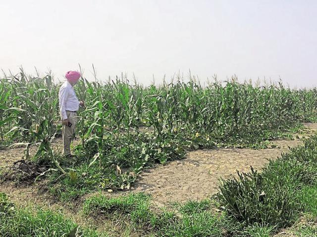 The zero-budget natural farm at Dheerkot in Jalandhar.